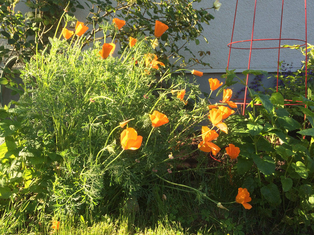 Picture of California poppies (escholzia californica) © Melinda Nettles|Lean2creativeworks